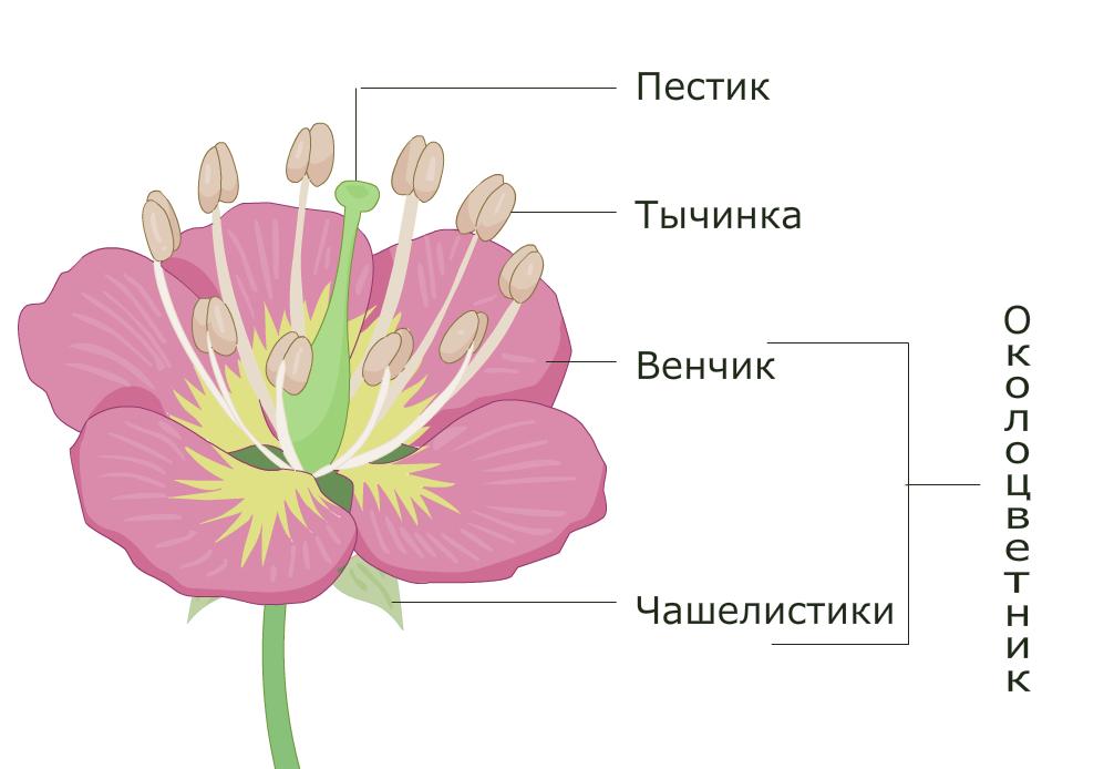 натяжение картинки тюльпана и розы в чем заключается фотограф для
